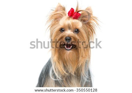 Closeup of beautiful yorkshire terrier dog with red bow sitting. Isolated over white background. Copy space. - stock photo