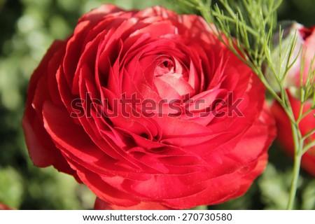 Closeup of Beautyful Red Persian buttercups. - stock photo