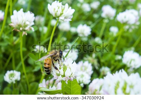 Closeup of bee at work on white clover flower collecting pollen - stock photo