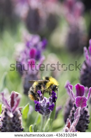 closeup of bee on lavender flower in garden in summer portrait text space  - stock photo