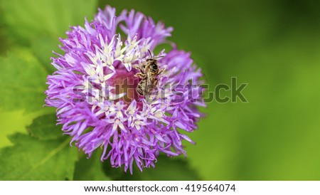 Closeup of bee on thistle purple flower in park - stock photo