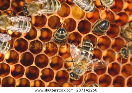 closeup of bees on honeycomb - stock photo