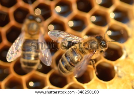 closeup of bees on honeycomb in apiary in the autumn - stock photo