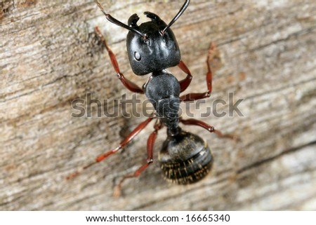 Closeup of black carpenter ant - stock photo