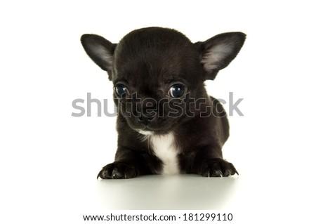 Closeup of black chihuahua puppy - stock photo