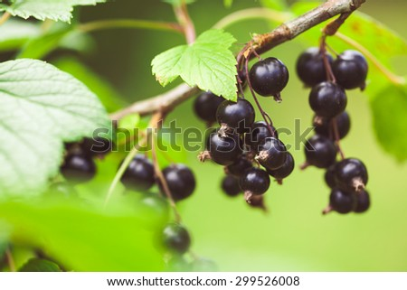 Closeup of black currant growing naturally. Berry in the garden - cultivation and gardening illustration. - stock photo