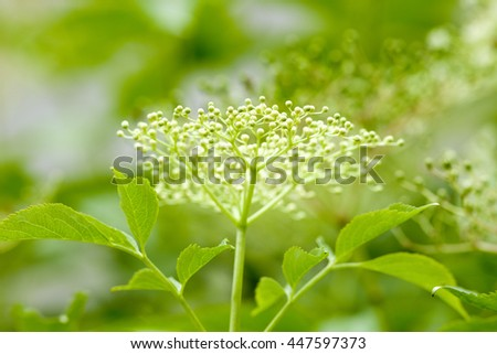 Closeup of Black Elder Flower in Spring