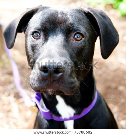 Closeup of Black Lab Dog Enjoying Walk in Park - stock photo