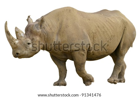 Closeup of Black Rhinoceros (Diceros bicornis) walking viewed of profile, isolated on white background - stock photo