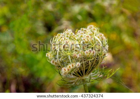 Closeup of blooming and budding Queen Anne's lace or Daucus carota plant against its blurred natural habitat. It's a sunny day in the summer season. - stock photo