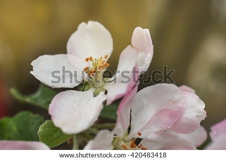 Closeup of blooming apple twig covered by water drops. Flowers of apple with water drops. Beautiful spring apple-tree flowers background,Soft focus.                               - stock photo