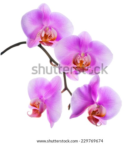 closeup of blooming  beautiful branch lilac orchid is isolated on white background  - stock photo