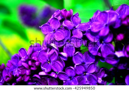 Closeup of blooming beautiful purple lilac flowers. Selective focus at the central flowers, soft focus processing. Floral spring background - stock photo