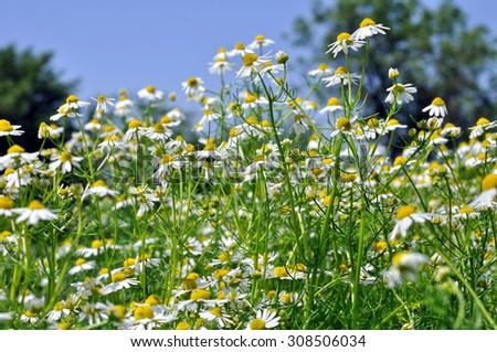closeup of blooming chamomile (Matricaria chamomilla) - homeopathic flowers  - stock photo