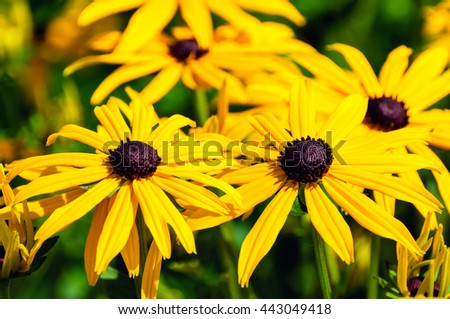 Closeup of blooming dark hearted Orange Coneflower or Rudbeckia fulgida plants on a sunny day in the summer season. - stock photo