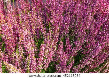 Closeup of blooming pink heather in sunlight.