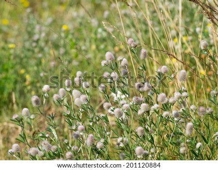 Closeup of blooming Stone Clover or Trifolium arvense plants in their natural habitat. - stock photo