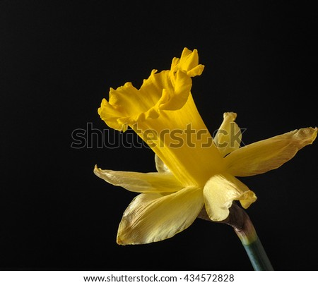Closeup of blooming yellow daffodil on black background - stock photo