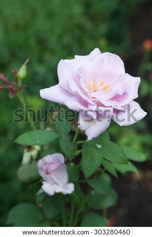 Closeup of blossomed pink rose with mildew  - stock photo