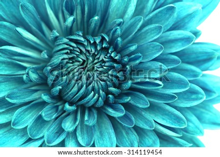 Closeup of blue Chrysanthemum Flower Background