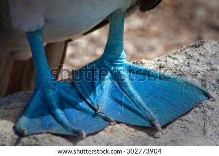 Closeup of Blue footed booby's feet in the Galapagos Islands, Ecuador - stock photo