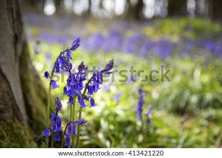 Closeup of bluebells in the woods. Micheldever, Hampshire, UK - stock photo