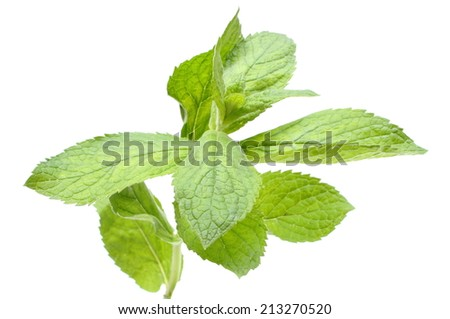Closeup of branch of fresh natural green mint, concept for healthy nutrition