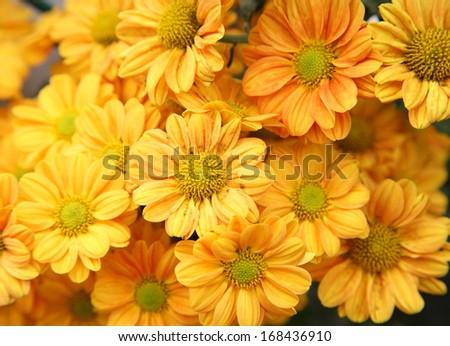 Closeup of bright colorful chrysanthemums - stock photo