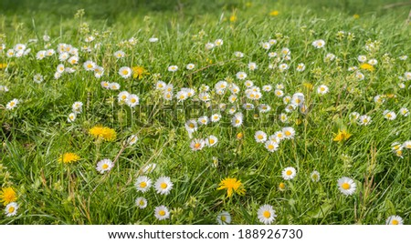 Closeup of bright flowering dandelions and common daisies in grass in the early spring season. - stock photo