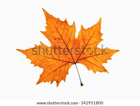 Closeup of Brown Autumn Leaf - Isolated on White - stock photo