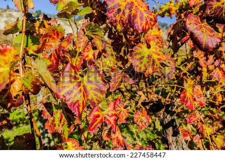 Closeup of Brownish Red leaves of grapevine vineyard during Autumn in Italian country