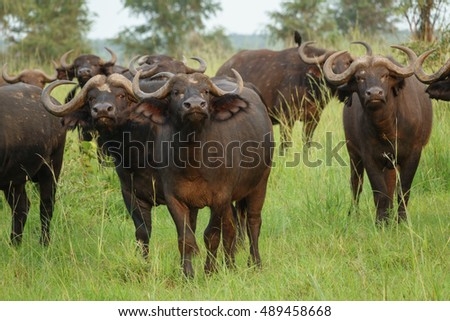 Closeup of buffalo cattle (Syncerus caffer) standing in a field looking at camera