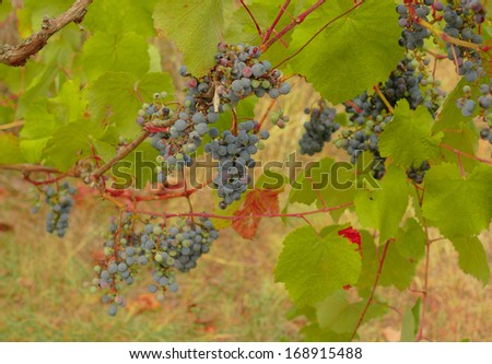 Closeup of bunch of red grape in the vinyard - stock photo