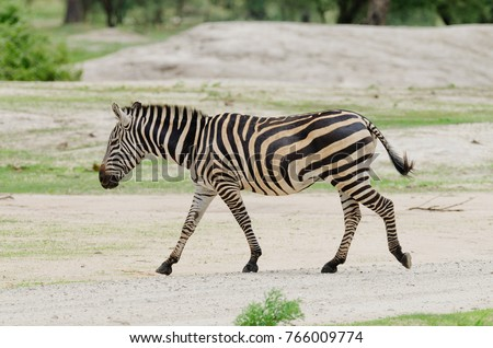 "Closeup of Burchell's Zebra or Boehm's zebra (scientific name: Equus burchelli, subspecies Equus burchelli boehmi or ""Punda milia"" in Swaheli) image taken on Safari located in Tanzania"