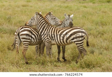 "Closeup of Burchell's Zebra or Boehm's zebra (scientific name: Equus burchelli, subspecies Equus burchelli boehmi or ""Punda milia"" in Swaheli)   on Safari  in the Serengeti National park,  Tanzania"