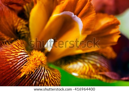 Closeup of burgundy red bearded iris flower in bloom - stock photo