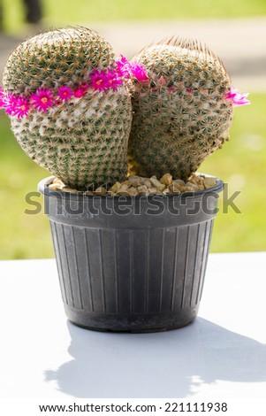 Closeup of Cactus with pink flower; Spring in desert garden - stock photo