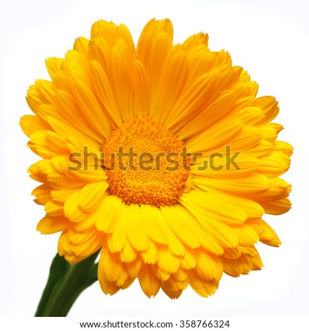 Closeup of calendula over white background