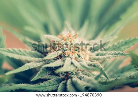 Closeup of Cannabis female plant in flowering phase. - stock photo