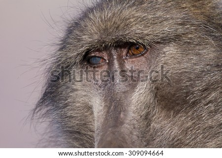 Closeup of chacma baboon female with a blind eye