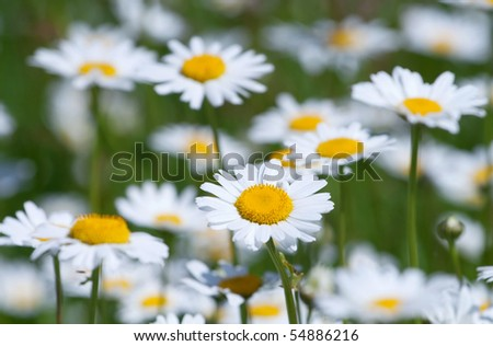 Closeup of chamomile - stock photo