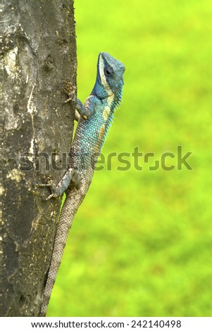 Closeup of Changeable lizard on tree, green background - stock photo
