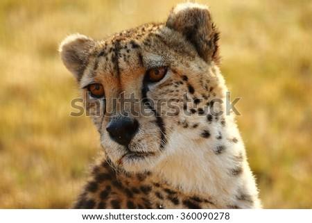 Closeup of cheetah - Gauteng, South Africa - stock photo