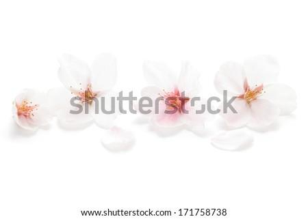 Closeup of Cherry blossom  - stock photo