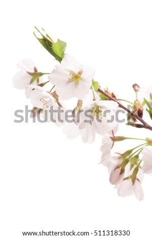Closeup of Cherry blossom