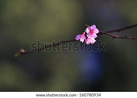 Closeup of cherry blossom in the garden, shallow DOF - stock photo