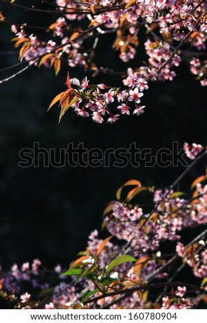 Closeup of cherry blossom in the garden. taken with shallow DOF and low-key technique. - stock photo