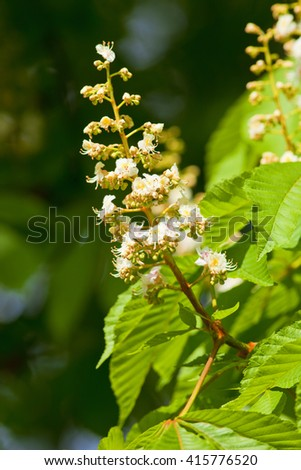 Closeup of Chestnut Tree Flower at Blossom in Spring - stock photo