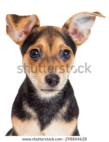 Closeup of Chihuahua Mixed Breed Three Month Old Puppy.  Large ears and black eyes are adorable.  - stock photo