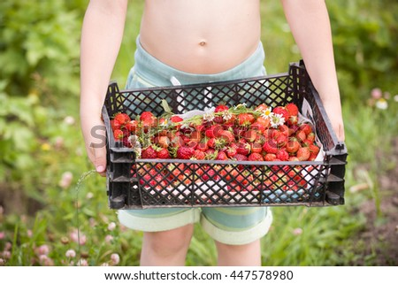 closeup of child's hands holding big box of fresh organic strawberries. Garden's harvest. Healthy lifestyle and food. Kid with berries. - stock photo